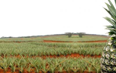 """Estudio """"Impacto Económico, Social y Ambiental de la Piña en Costa Rica"""" realizado por el INCAE revela la importancia de la agroindustria piñera en Costa Rica"""